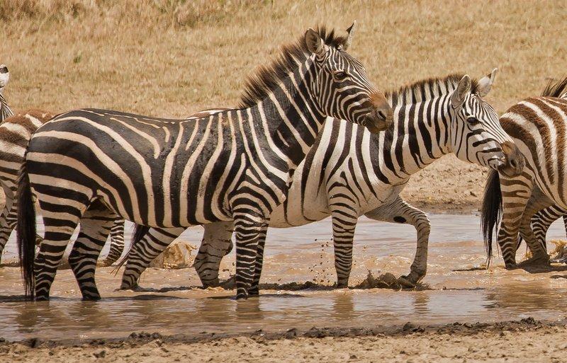large_Zebra_429.jpg