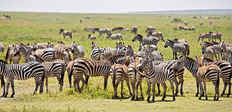 large_Zebra_52.jpg