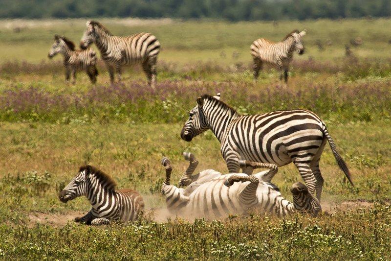 large_Zebra_6-10.jpg