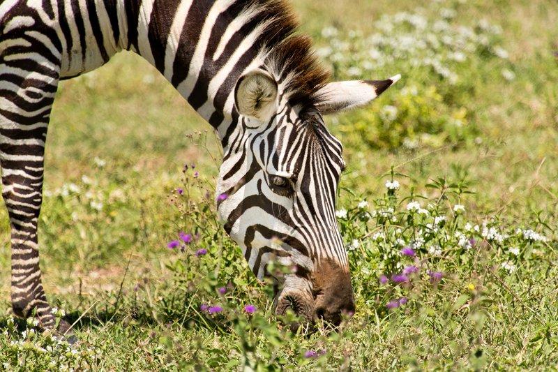 large_Zebra_6-4.jpg