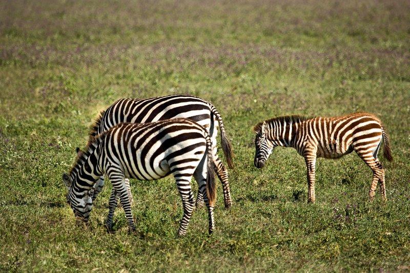 large_Zebra_6-52.jpg