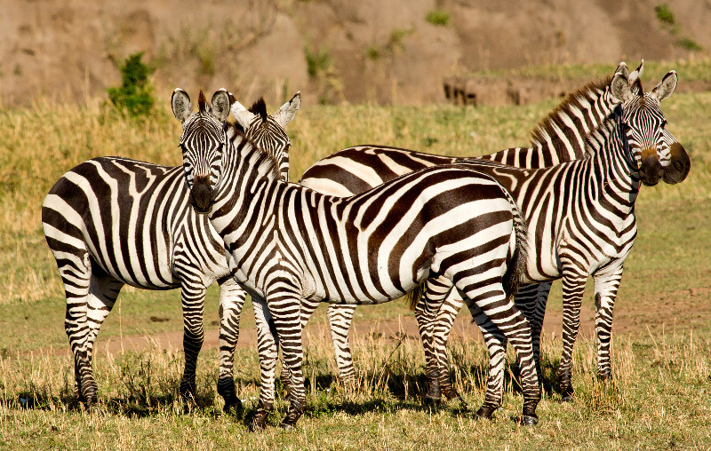 large_Zebra_63.jpg