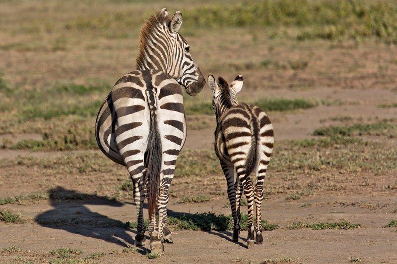 large_Zebra_7-13.jpg