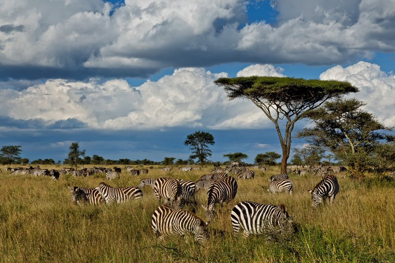 large_Zebra_9-21.jpg
