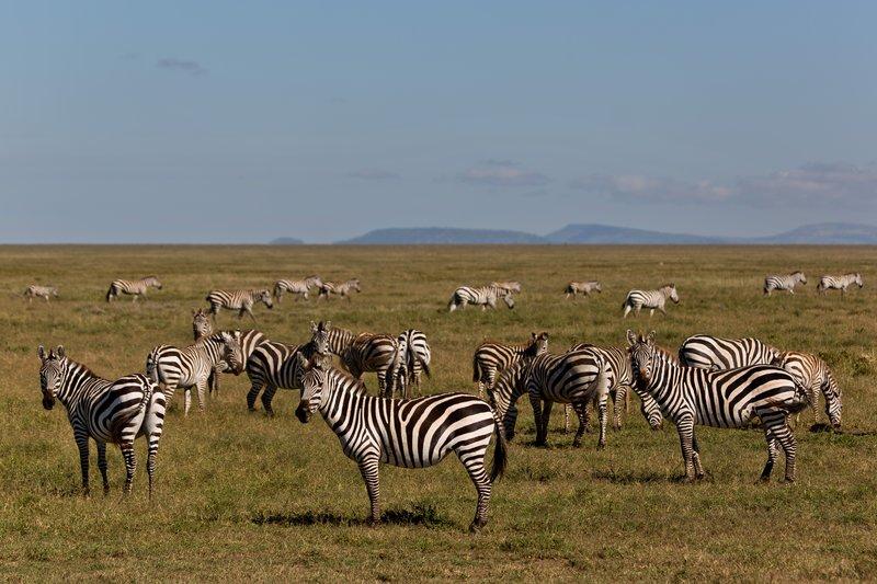 large_Zebra_9-3.jpg