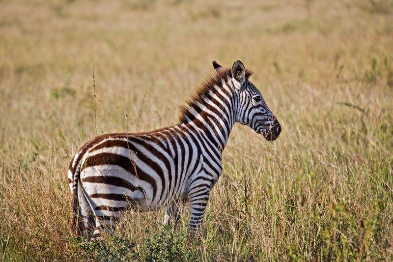 large_Zebra_9-33.jpg