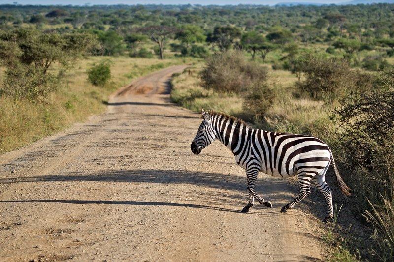 large_Zebra_9-36.jpg