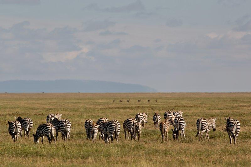 large_Zebra_9-4.jpg