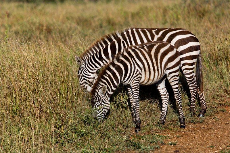 large_Zebra_9-44.jpg