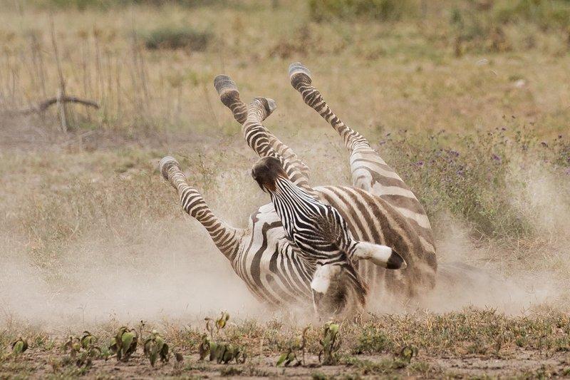 large_Zebra_Dust_Bath_10.jpg