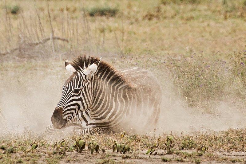 large_Zebra_Dust_Bath_12.jpg