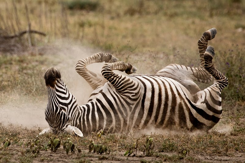 large_Zebra_Dust_Bath_14.jpg