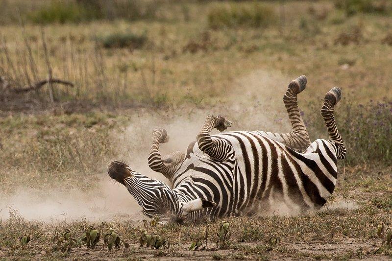 large_Zebra_Dust_Bath_6.jpg