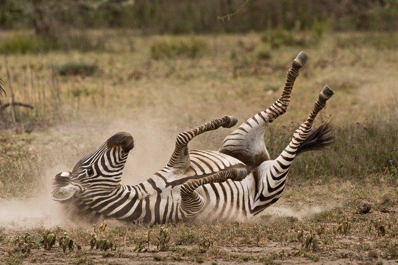 large_Zebra_Dust_Bath_7.jpg