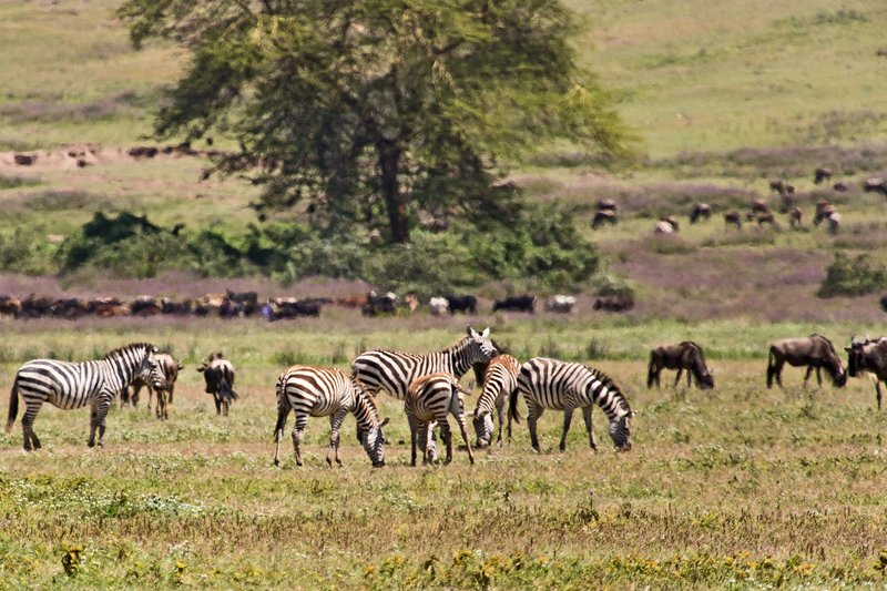 large_Zebra_and_.._Cattle_6-3.jpg