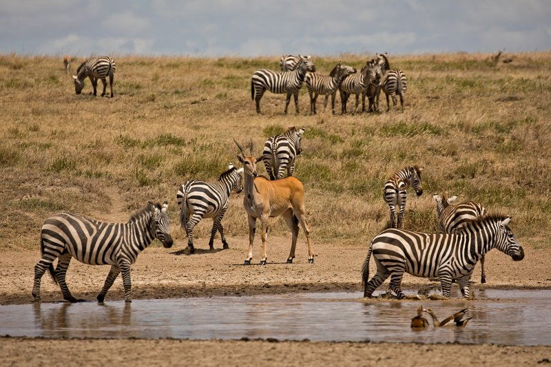 large_Zebra_and_Eland_1.jpg