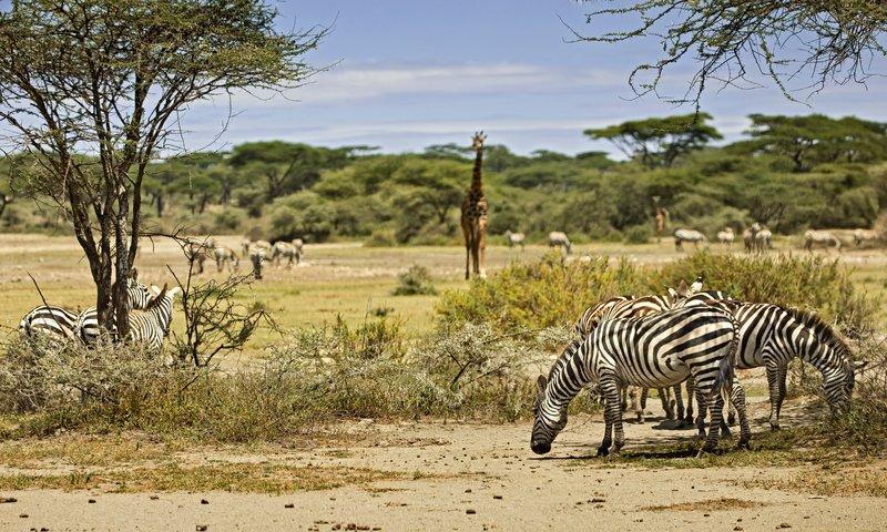 large_Zebra_and_Giraffe_1.jpg