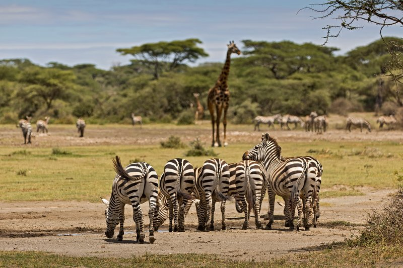 large_Zebra_and_Giraffe_2.jpg
