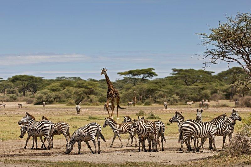 large_Zebra_and_Giraffe_4.jpg