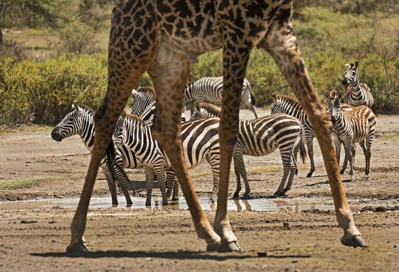 large_Zebra_and_Giraffe_5.jpg