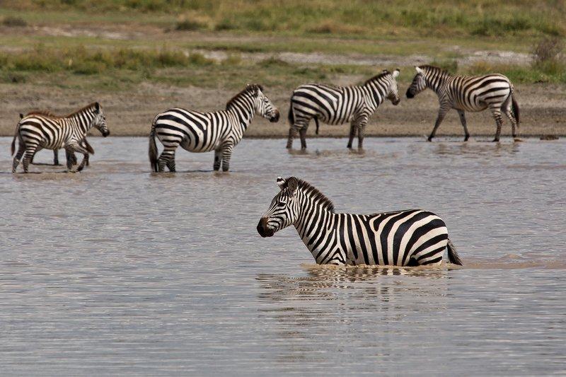 large_Zebra_at_H..Valley_8-27.jpg
