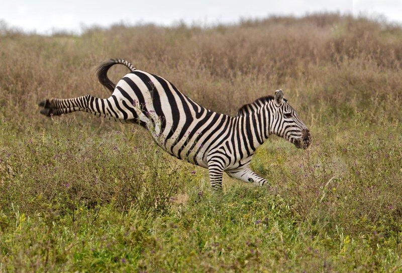 large_Zebra_at_H..Valley_8-43.jpg