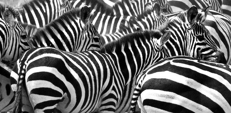 large_Zebra_at_H..Valley_8-56.jpg
