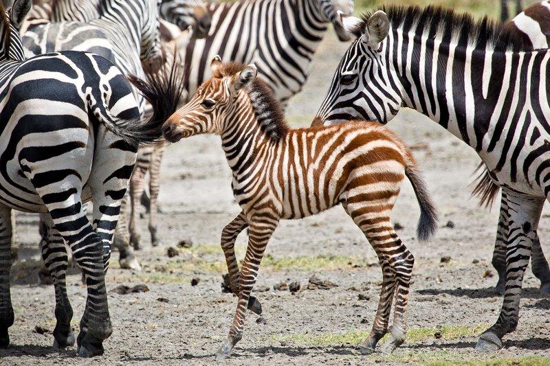 large_Zebra_at_H..Valley_8-61.jpg
