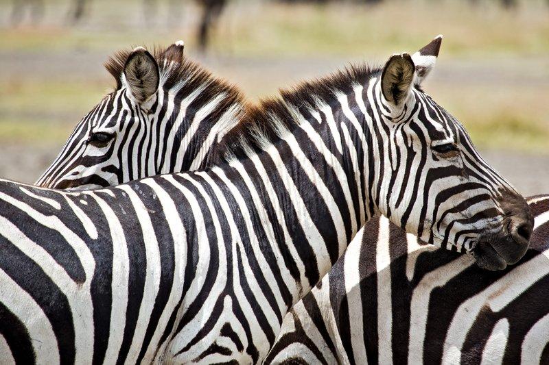 large_Zebra_at_H..Valley_8-63.jpg