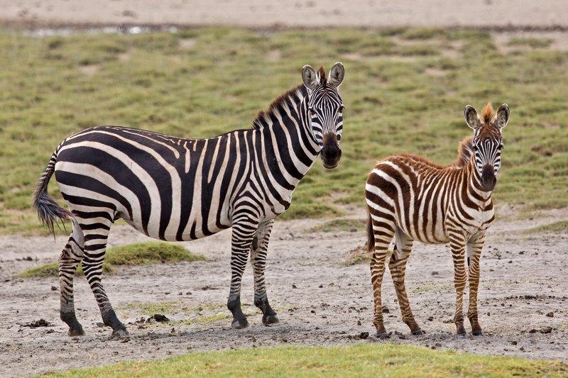 large_Zebra_at_H.._Valley_8-4.jpg