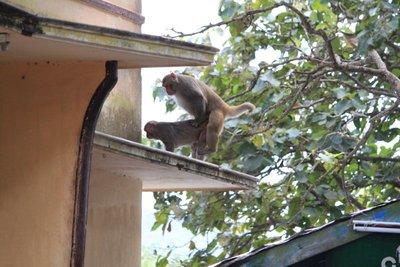 mont popa monkeys...