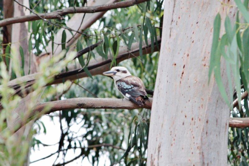 De kookaburra of 'lachvogel', de roep van deze vogel lijkt nl. erg op de menselijke lach.