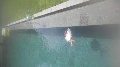 turkey deforsting in the pool