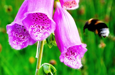 Digitalis purpurea being pollenated by a bee, Kentish garden