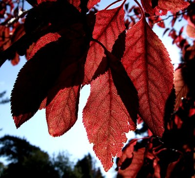 Autumn leaves with veins, Kent