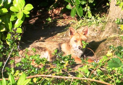 Fox in woodlands near Kent / Sussex border (Tunbridge Wells suburb)