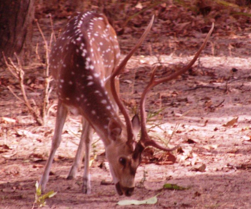 Deer O Deer!