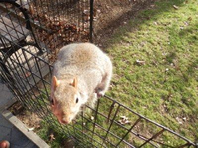 Squirrel - Madison Square Park