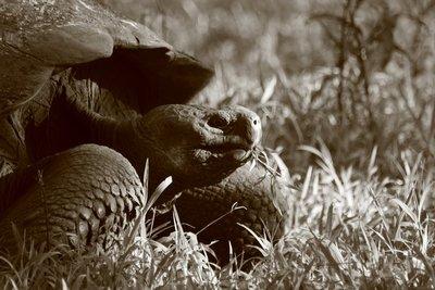Mr Giant Tortoise!