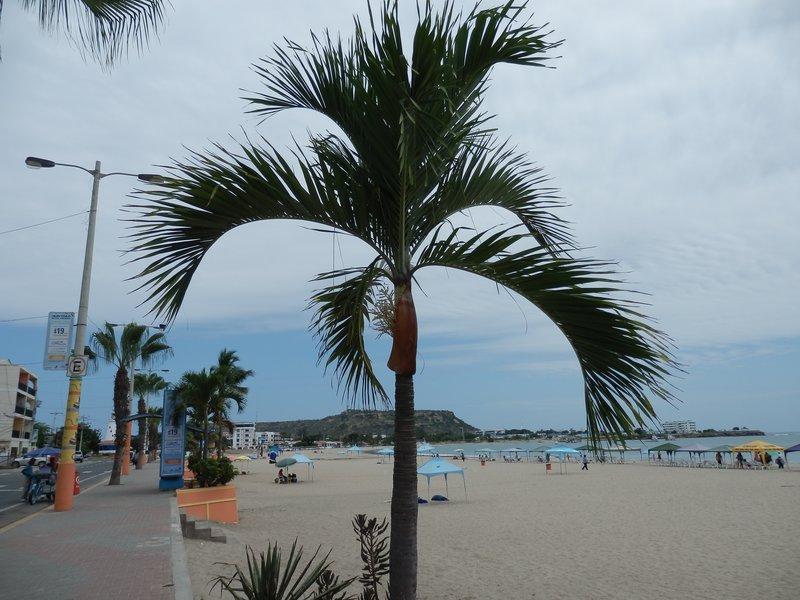 Malecon Palm