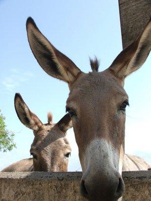 Donkeys, Lamu