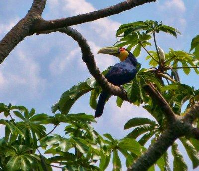 1. It s a Tucan.  Foz do Iguazu, Brazil