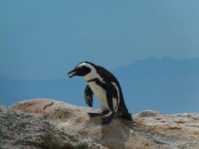 11. Penguin time at Boulders Bay, SA