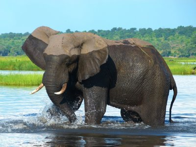 1 Elephant, Chobe National Park