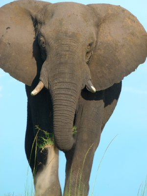 2. Elephant, Chobe National Park