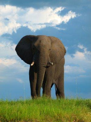 3. Elephant, Chobe National Park