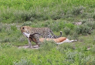 3. Sam and Alex's leopard photo, dragging its kill to the bushes