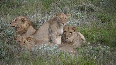 6. Hussain's Etosha National Park lion photo