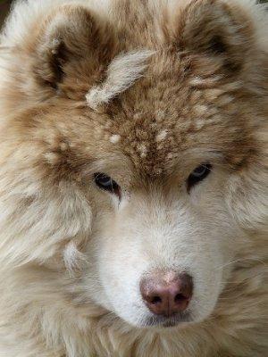 7. Fluffy Husky at dog training school