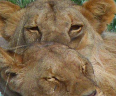 7. Lion's in Etosha National Park